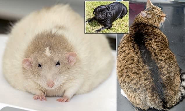fat rat who loves porridge aims to lose weight in pdsa competition