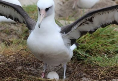 Wisdom the albatross: World's oldest known bird lays another egg