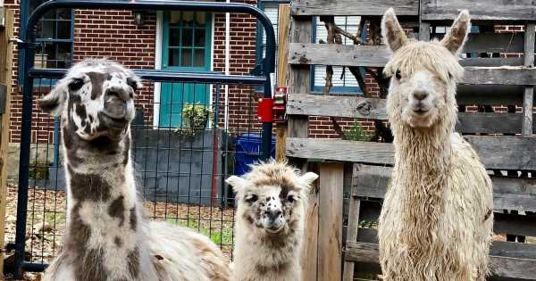 You can hang out with alpacas and llamas at this dreamy Airbnb treehouse